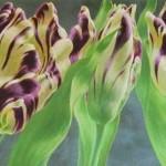 tulpen 001 (3)-1