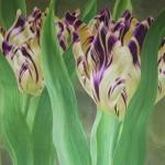 tulpen 002